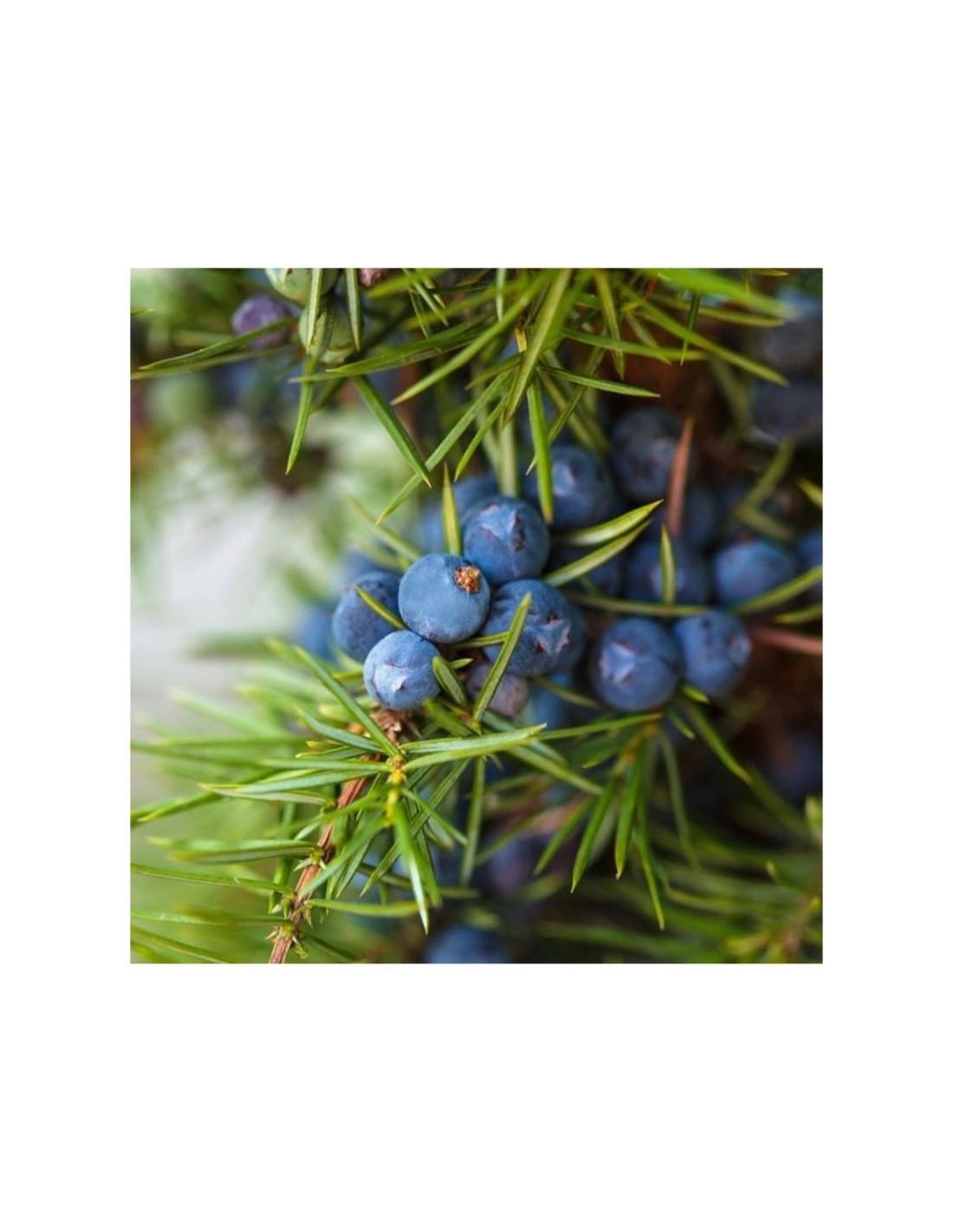 637216023496013612-pianta-ginepro-oxycedrus-vaso-7cm